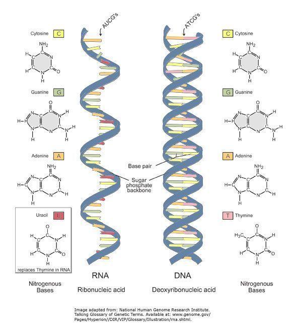 Diferencias entre adn y arn for Que significa molecula